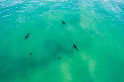 A pack of sharks was photographed on Sunday afternoon near Capistrano Beach