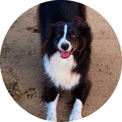 Wavehuggers favorite surf dog, Taj, a black and white australian shepherd, in Laguna Beach