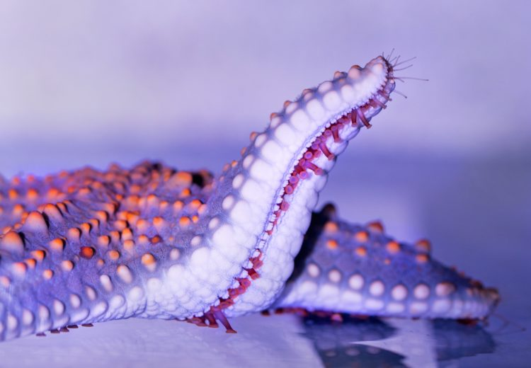 a purple and orange star fish reaching an arm up to reveal tiny fushia feet. This is one of the many animals that benefit from beach cleanups.