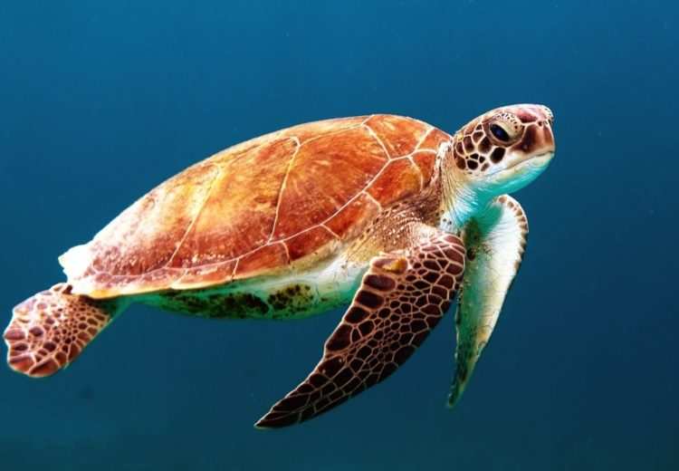 a orange and brown sea turtle swims though a denim blue ocean with nothing else in sight