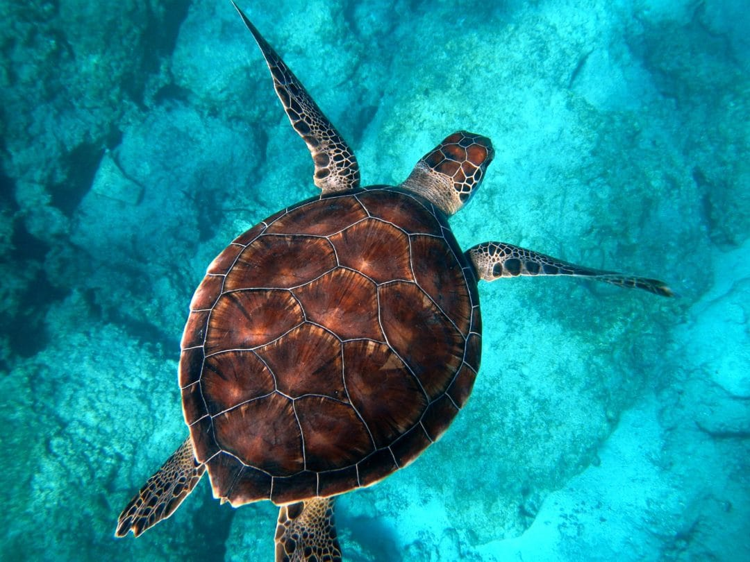 young, reddish brown sea turtle swimming above a rocky reef in turquoise waters