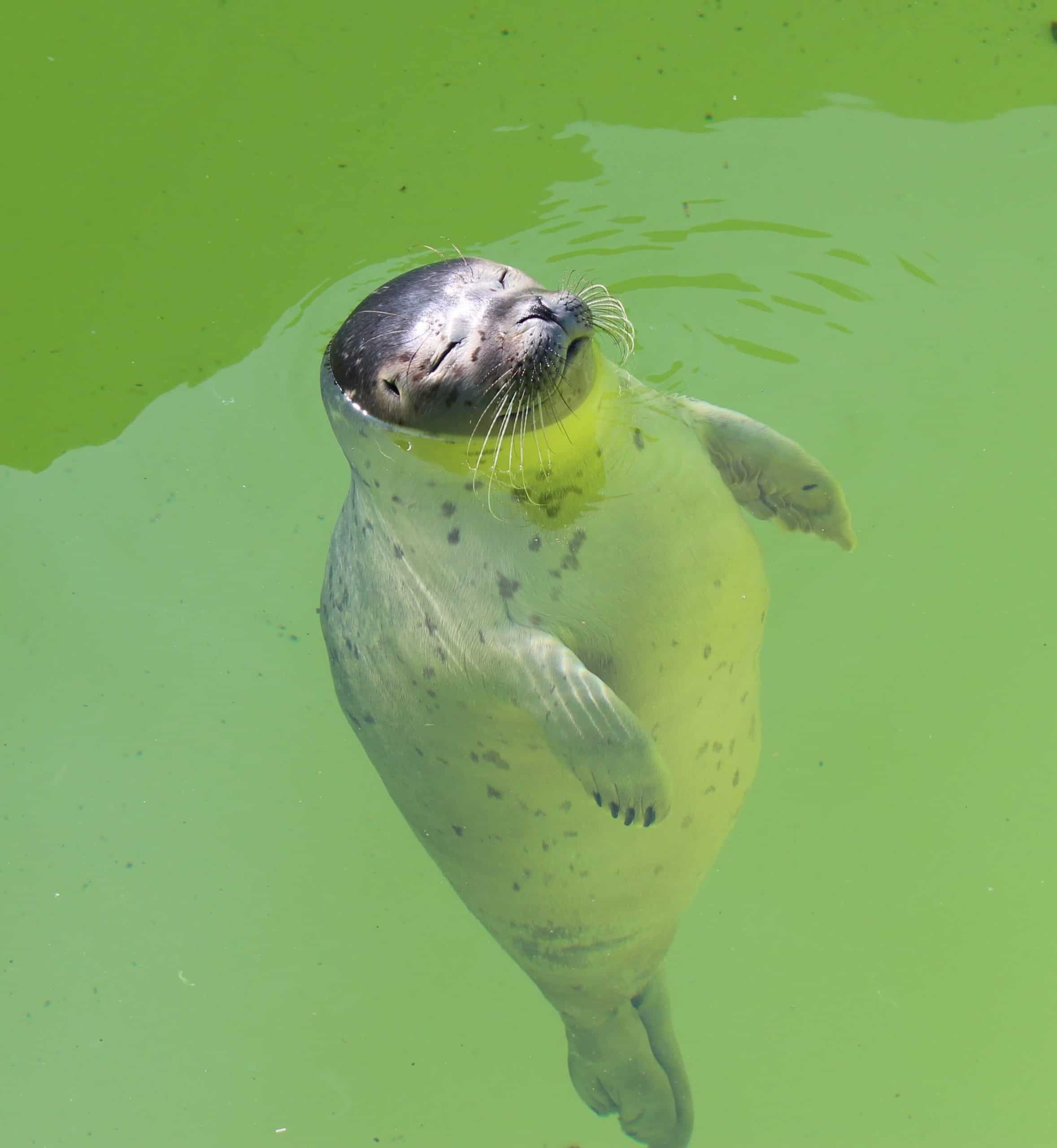 a spotted seal floats with his face above the water in a rehabilitation pool