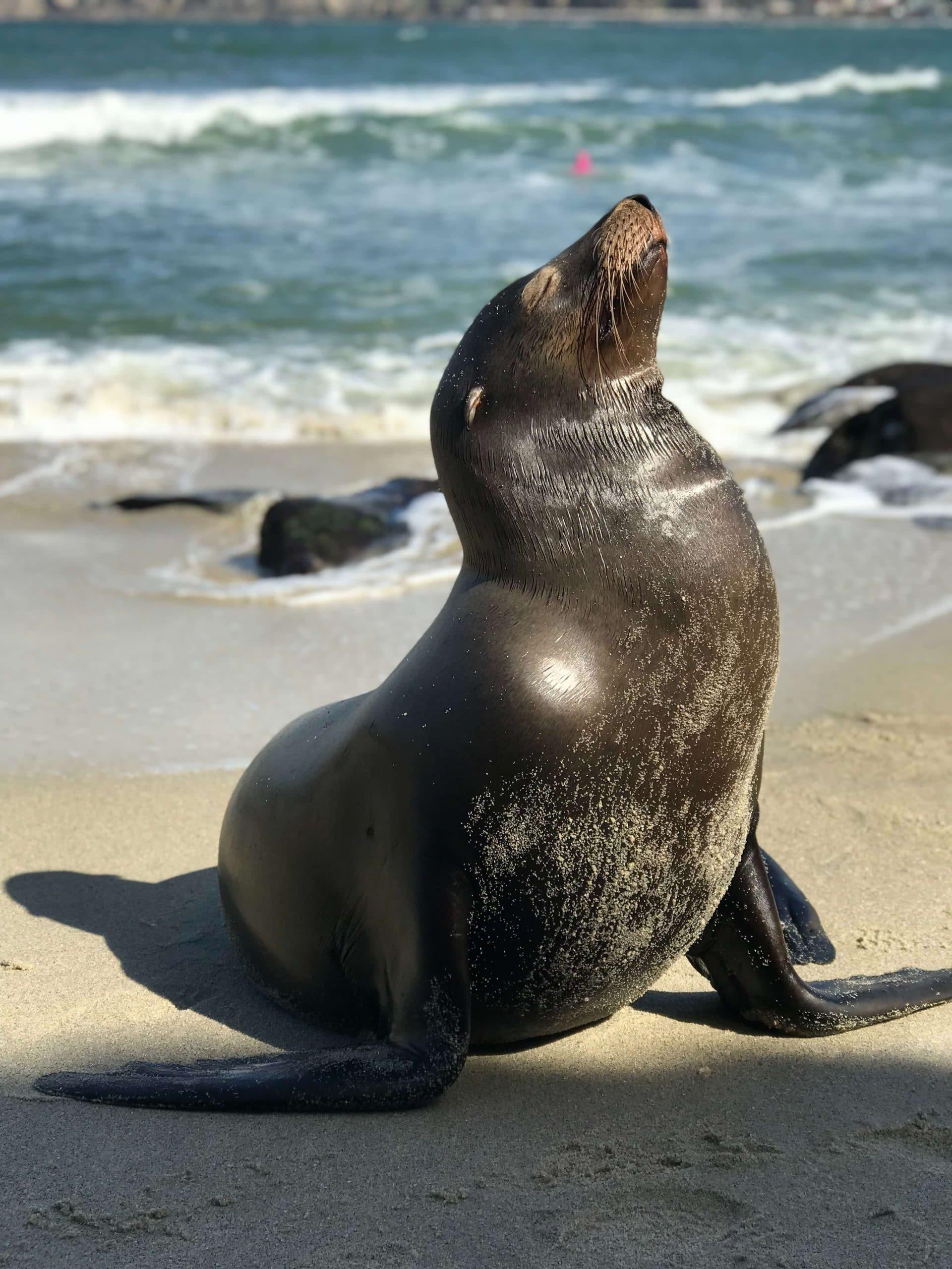 california sea lion basks in the sun on a rocky beach